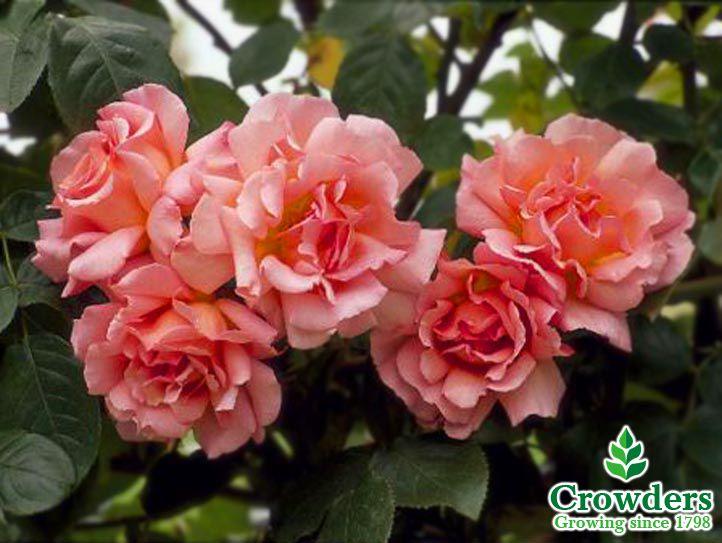 agatha christie climber repeat flowering a rose is a rose pinterest agatha christie. Black Bedroom Furniture Sets. Home Design Ideas