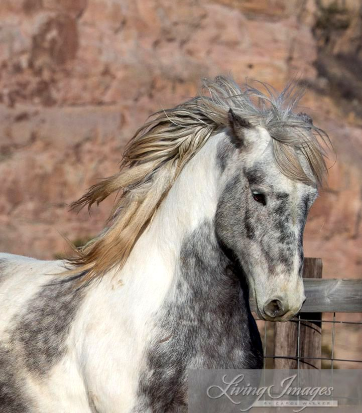 Wild horse Theodore. Kind of a Pinto Paint and Grey dappled mix, beautiful horse running with mane flowing in wind.