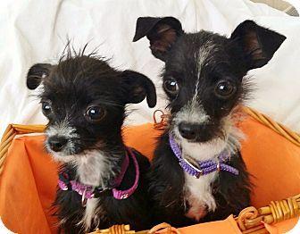 Inland Empire, CA - Yorkie, Yorkshire Terrier/Chihuahua Mix. Meet BERNIE, a…