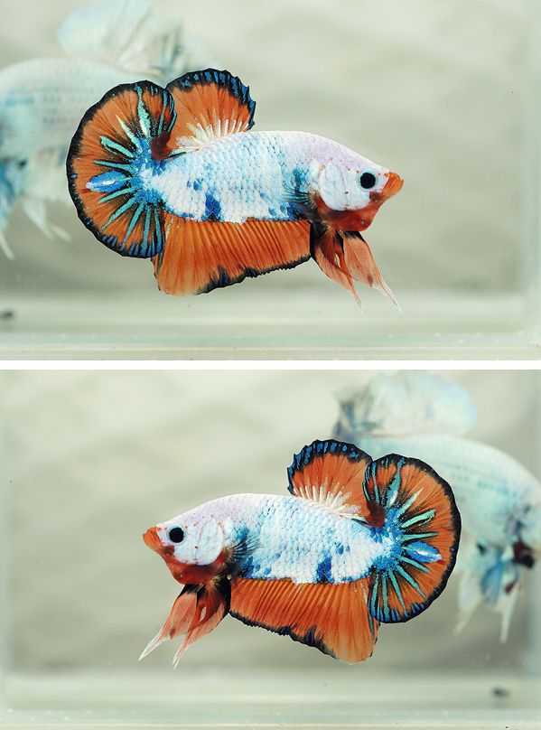 how to entertain your fighters fish