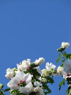 Blauwe lucht met plukje hibiscus