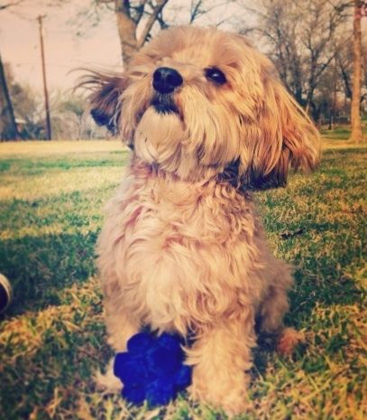 Where To Rescue Havanese Dog From Houston