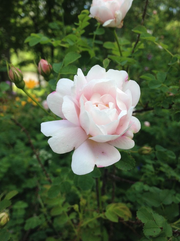 An old rose art in my garden. Vaaleanpunainen juhannusruusu, vanha lajike.