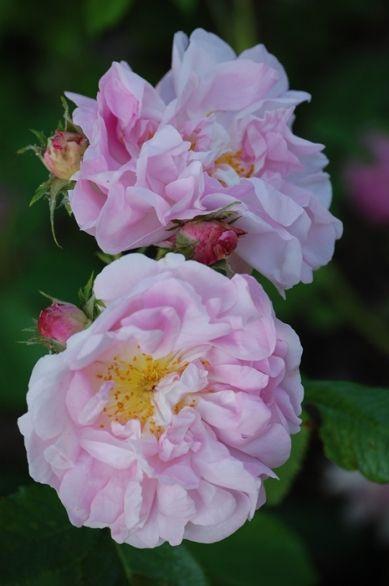 Damask Rose: Rosa damascena mutabilis AKA 'Celsiana' (Netherlands, before 1732)