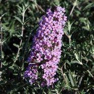 Buddleja Flutterby Butterfly Lavender