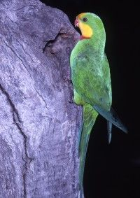 Superb Parrot - Just came in to the hospital. Strange since they are not native to SA.
