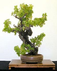 Bonsai Zinfandel Grape Vine. Vines symbolize introspection, relaxation, and depth in Celtic tree folklore.