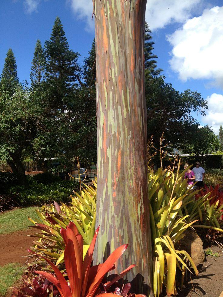 Rainbow Eucalyptus tree at Dole Plantation in Oahu, Hawaii