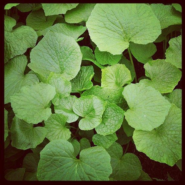 Wasabi plants pinterest for Plante wasabi