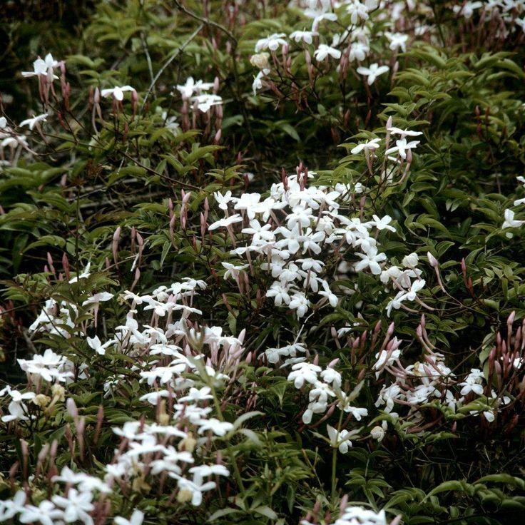 Jasmin d'hiver Jasmin rosé d'hiver (Jasminum polyanthum)
