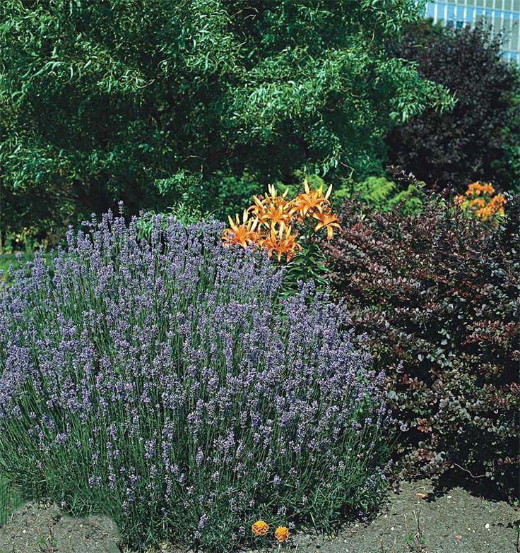 Лаванда узколистная 'Munstead' Lavandula angustifolia 'Munstead'