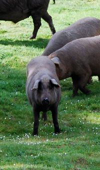Up close and personal with the black pigs of the Alentejo