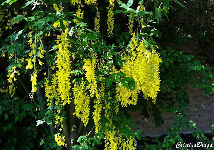 Chuva Dourada – Laburnum x watereri Vossii - Árvore com folhas caducas e flores amarelo-douradas, perfumadas ...
