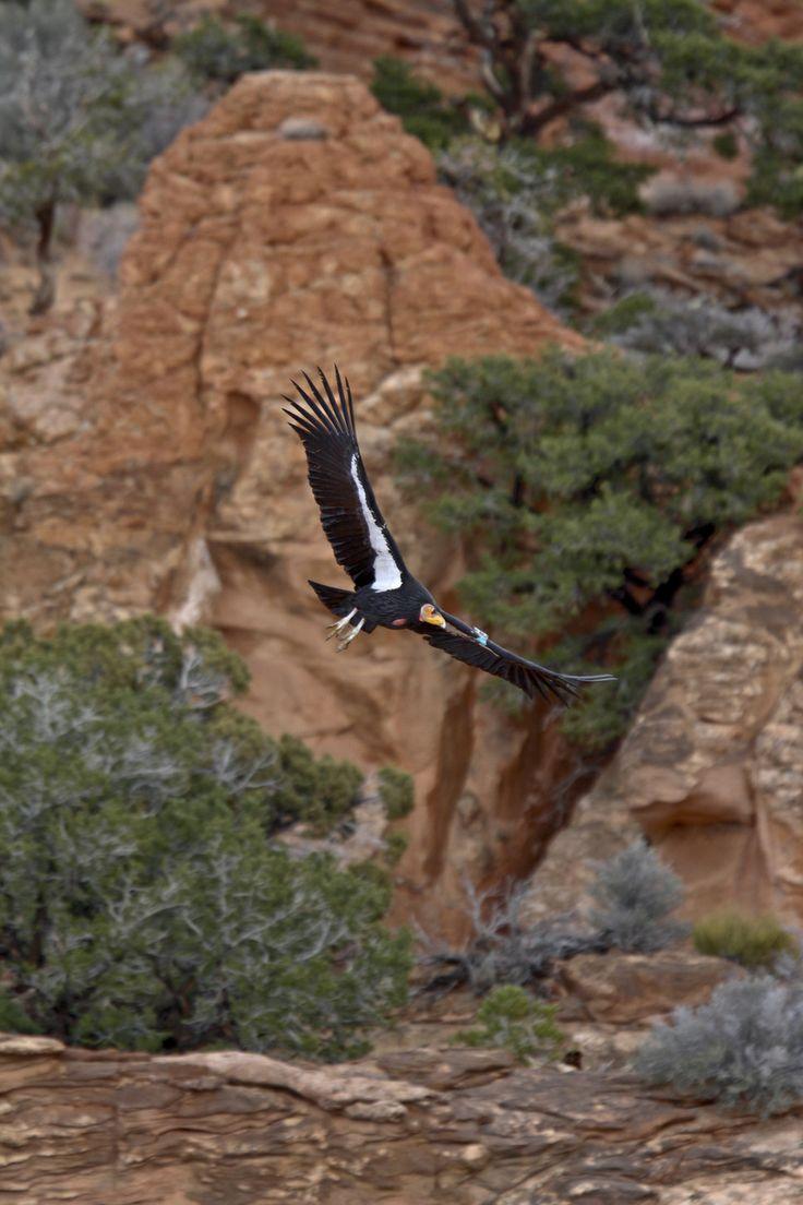 Chris Parish | Courtesy The Peregrine FundAn adult California condor from the Arizona/Utah population.