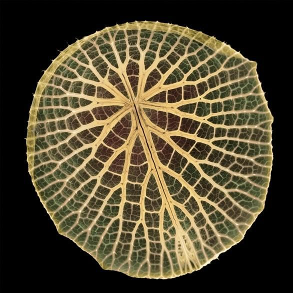 Nymphaeaceae