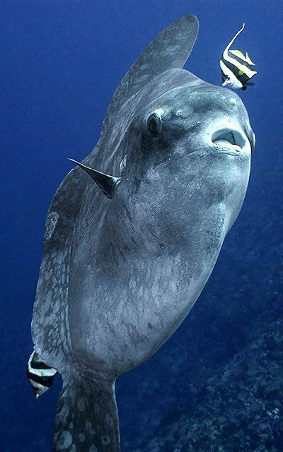 Ocean sunfish (Mola mola) | by Marco Waagmeester Mola Magic http://www.hatiku-adventures.com/