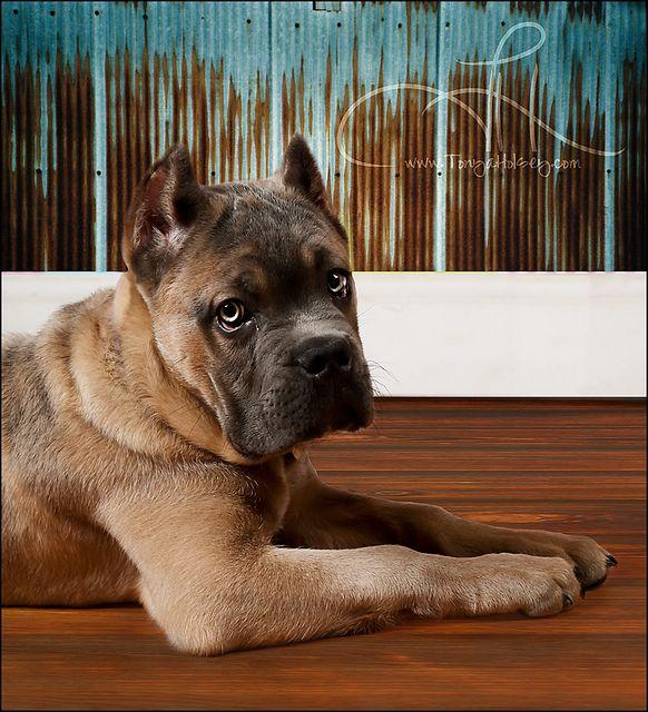 Cute Corso Puppy