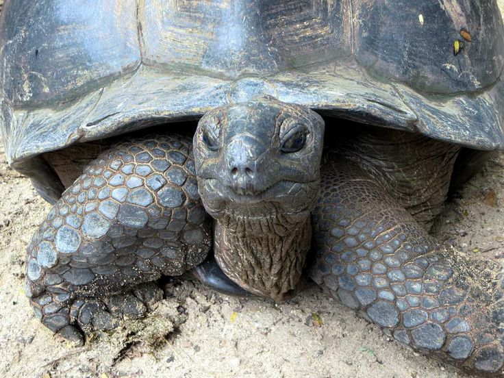 Closeup of an Aldabra tortoise in the Mont Fleuri Botanical Gardens at Victoria, Seychelles.
