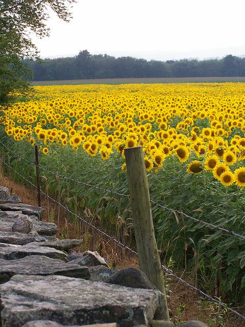 Field of sunflowers. - Long time since I've seen a field of sunflowers, I'm a misplaced girl from Kansas, living in Florida!!  lol!