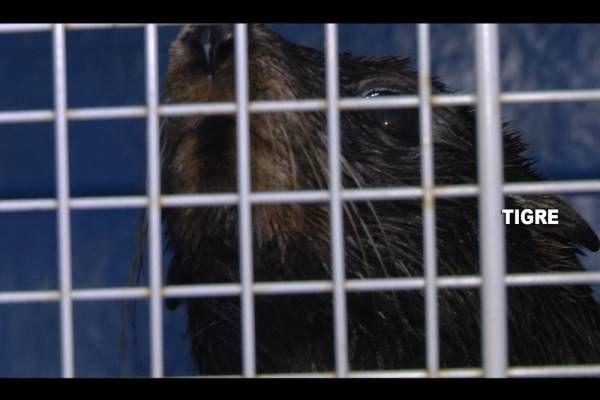 El COT socorrió a un lobo marino perdido en Tigre