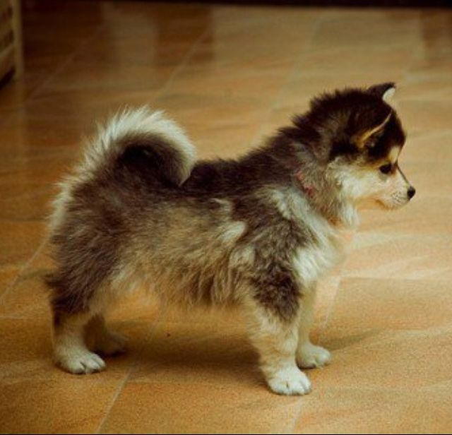 Pomsky (Pomeranian + Husky). Reminds me of my boyfriend. He likes small