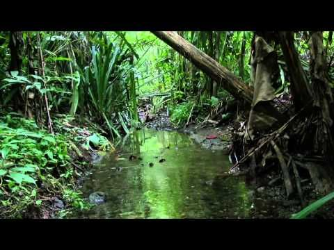 Sounds of the Costa Rica Rainforest - 2 Hours