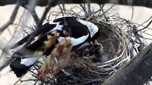 Image result for magpie eggs