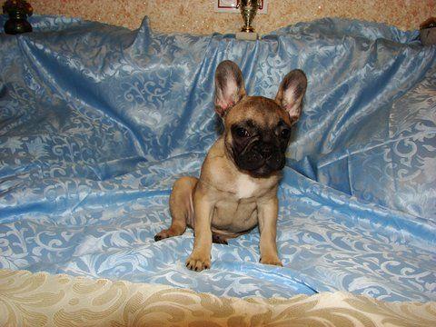 French Bulldog Puppy For Sale In Tryon Nc Adn 66642 On Puppyfinder Com Gender Female Age 14 Weeks Bulldog Puppies For Sale French Bulldog Puppies For Sale