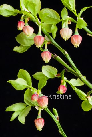 Ann-Kristina Al-Zalimi, Vaccinium myrtillus, mustikka, blåbär, bilberry, whortleberry, european blueberry, flora