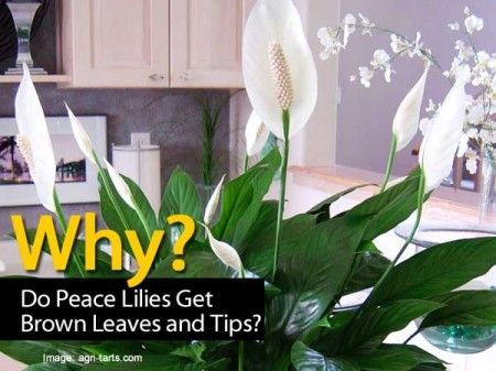 why do peace lilies get brown leaves and tips gardening pinterest lilies peace lily and peace. Black Bedroom Furniture Sets. Home Design Ideas