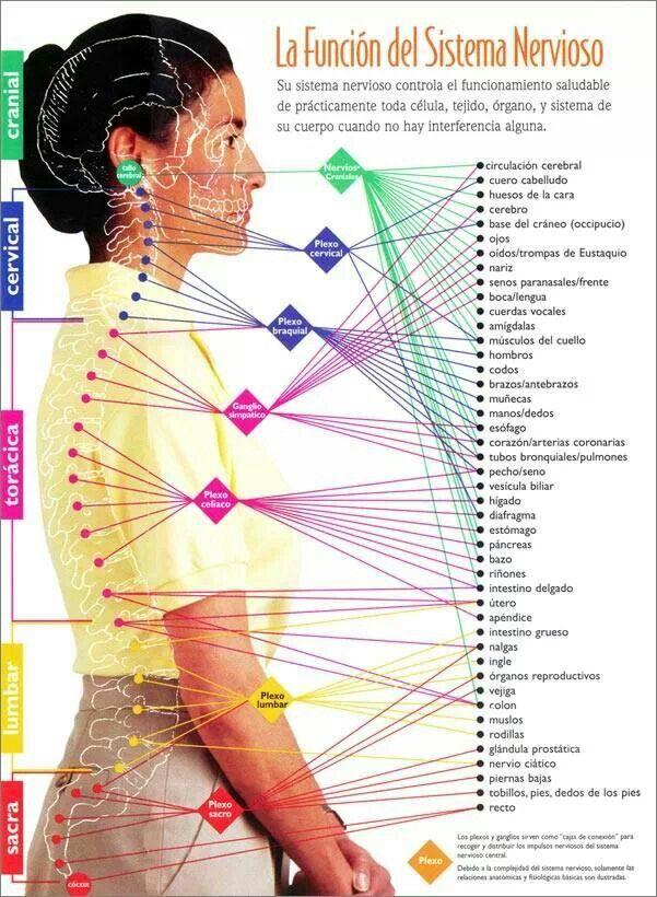 La función del sistema nervioso