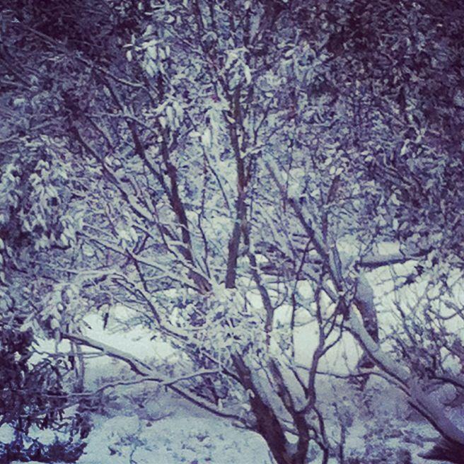 Mt Hotham snow gums