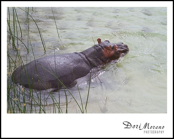 A hippo wades in the shallow waters, South Africa