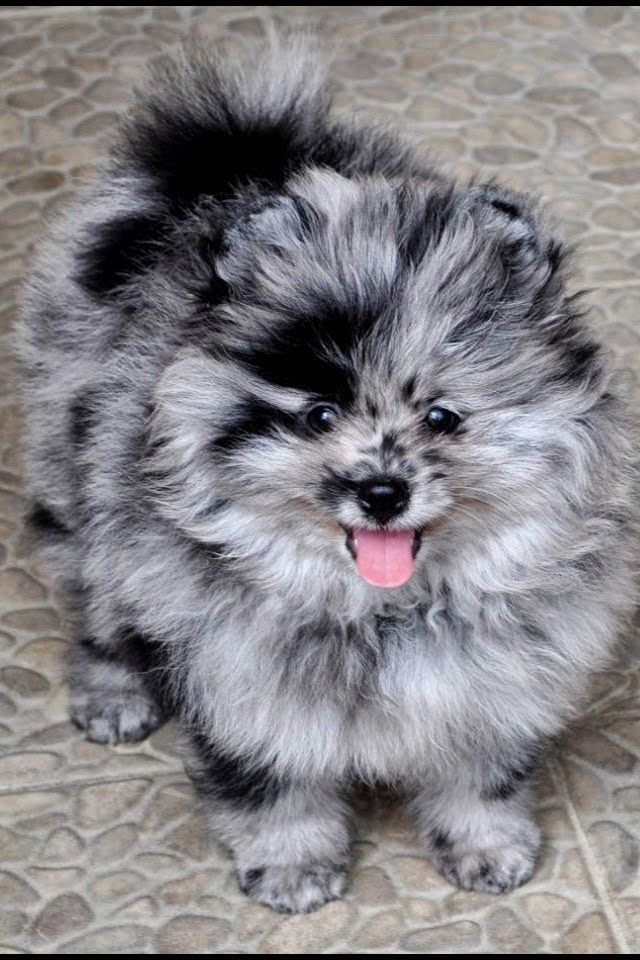The most unique looking Pomeranian I've ever seen. See more Top 10 Least Obedient Dog Breeds