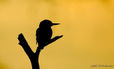 Hedgeland Tales: Kingfisher silhouette