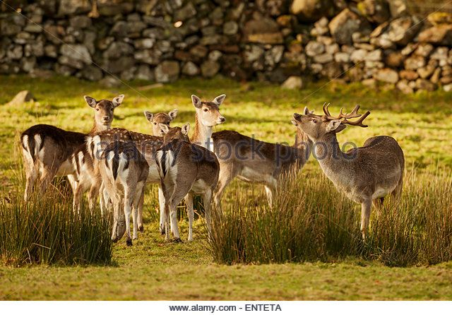 Fallow Deer (Dama Dama), Dumfries and Galloway, Scotland, UK - Stock Image