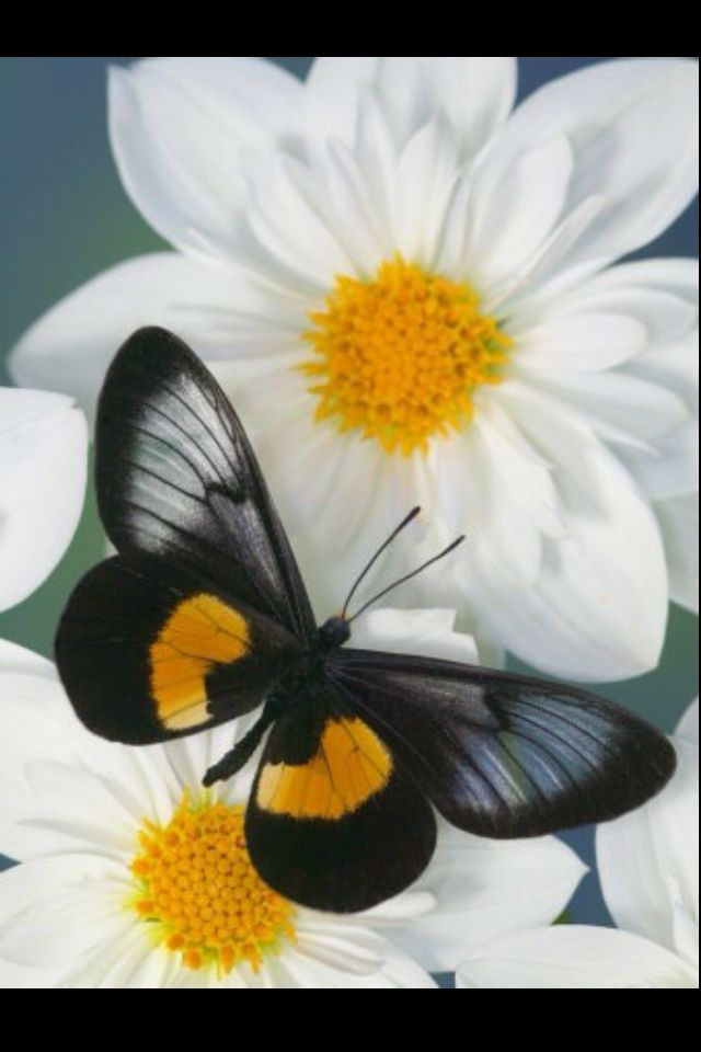 butterfly..love the black, yellow and white