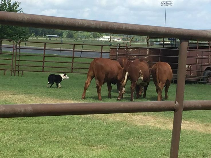 working cattle dog demonstration by Southern Stock Dog Association