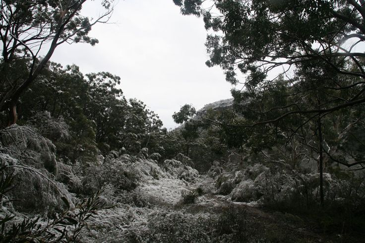 Wattles coated with snow