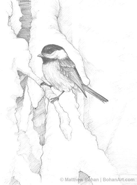 Chickadee on Snowy Branch Pencil Sketch