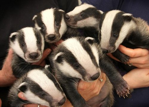 Adorable badgers!