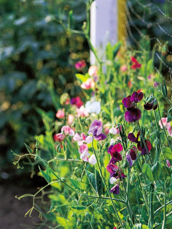Sweet Pea (Lathyrus odoratus): Growing Sweet Peas Flowers, Sweet Peas Vines, Sweat Peas, Sweet Peas Growing, Peas Lathyrus, Sweet Peas Gardens, Flowers Sweetpea, Lathyrus Odoratus, Annual Vines