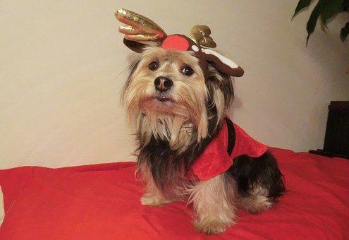 Christmas, Pet, Animal, Santa, Xmas
