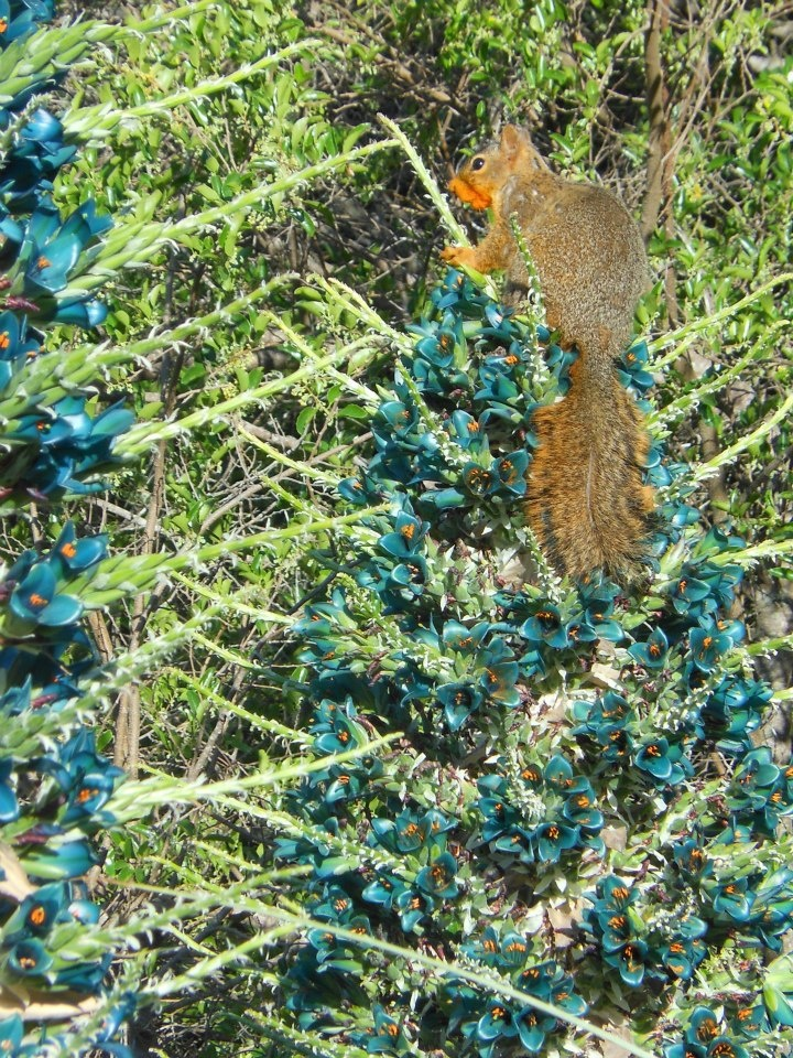 Can you see the orange pollen masking this squirrel's face? He's been enjoying the sweet nectar of Puya berteroniana, those stunning turquoise blooms.