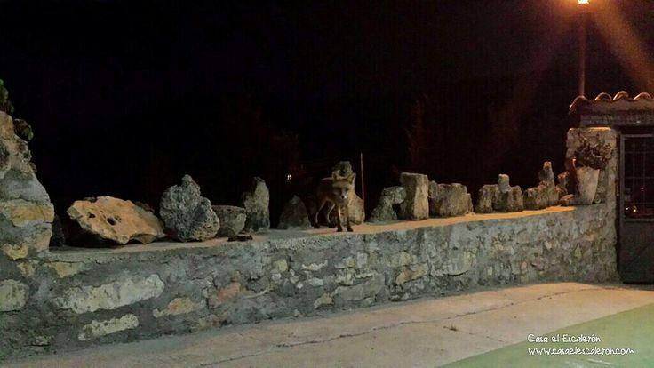 """Ahí está nuestro zorro """"CASPER"""". Le hemos llamado así, porque siempre aparece por las noches como un fantasma #TurismoRural #ExperienciasRurales #SerraníadeCuenca #ParqueNatural #viajes #rural #RuralLove #CasaRural #Ruralidad #Escalerón #Turismo #VisitaCuenca #CuencaEnamora"""