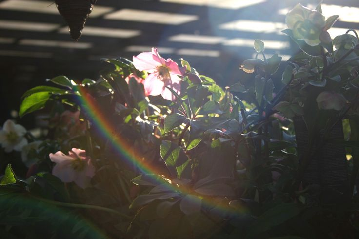 Look at this beautiful rainbow lensing effect with the hellbore flower as a focal point.