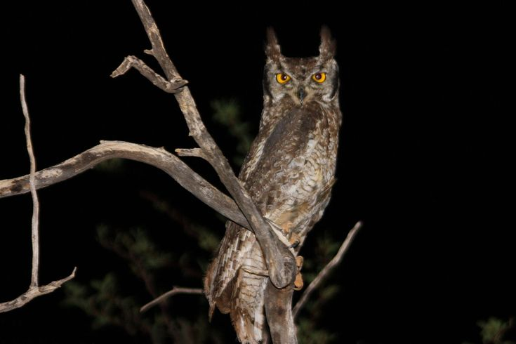 Spotted eagle owl bubo africanus.jpg