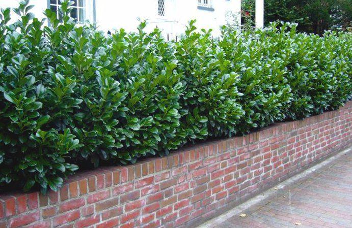 Lagerhägg – Prunus laurocerasus 'Etna' För skuggiga delar. Torktålig.