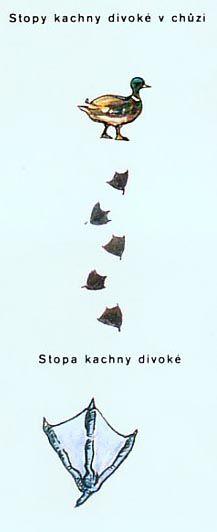 kachna_stopa.jpg (217×532)