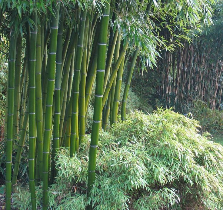 Moso Bamboo (Phyllostachys pubescens) is a winter hardy giant bamboo.